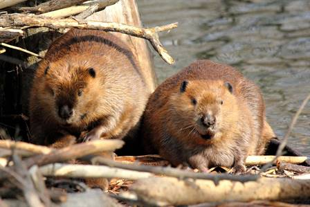 beavers1.jpg