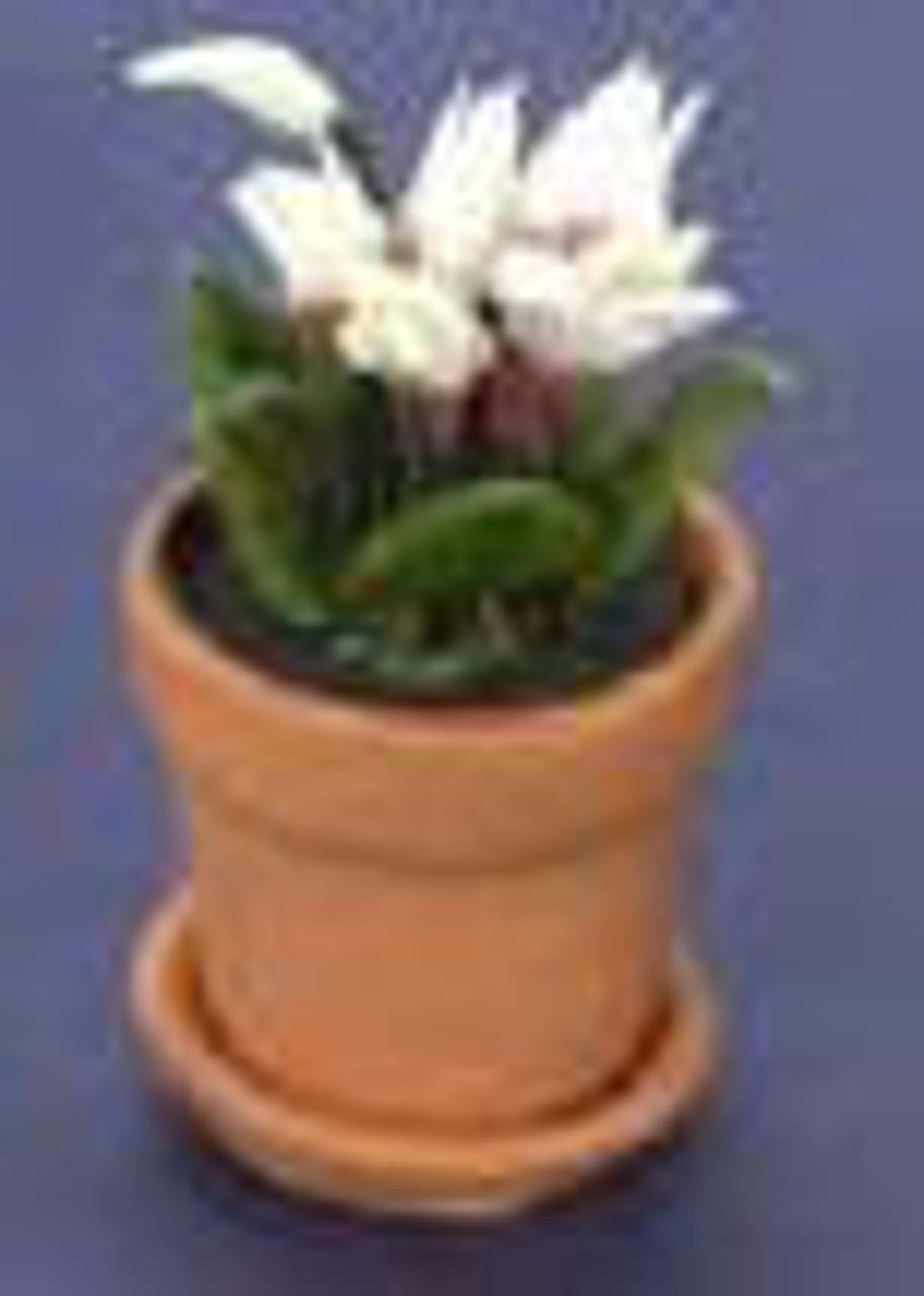 Cyclamen in Pot - White