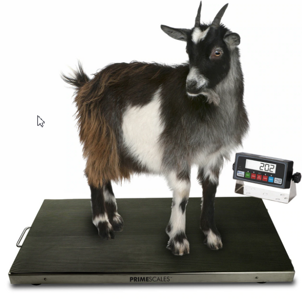 Our PS-AS700-4422 is a heavy duty but sleek vet scale that can weigh small to medium sized animals with animal weighing and peak hold functions. I deal for weighing small live stock such as Hogs, Pigs, Goats, Sheep and Dogs.  PS-700AS