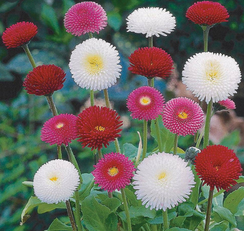 'Bellissima Mix' English Daisies