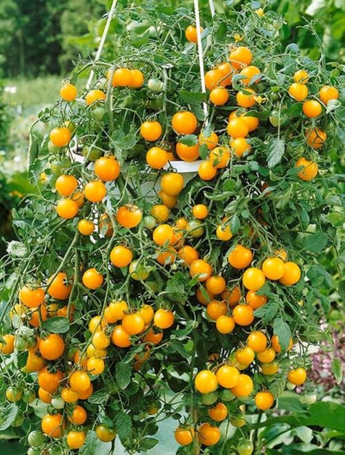 'Tumbling Tom' Yellow Cherry Hanging Basket