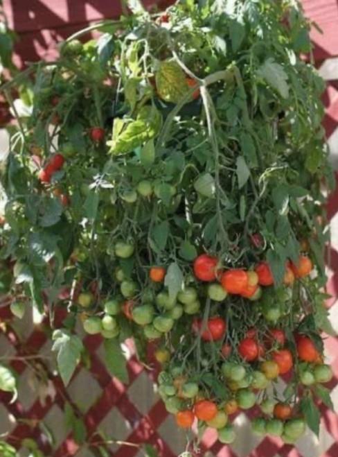 'Tumbling Tom' Red Cherry Tomato Hanging Basket