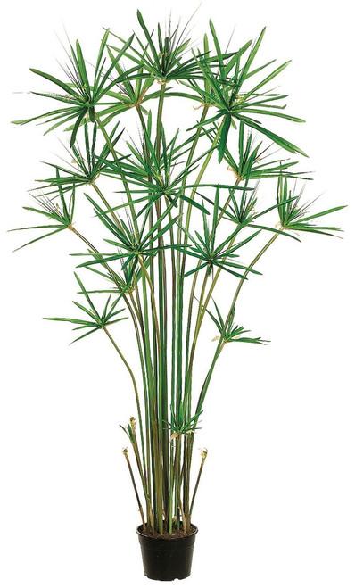 5ft Cypress Grass in Plastic Pot