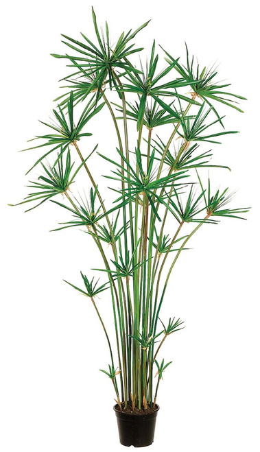 6ft Cypress Grass Tree in Plastic Pot