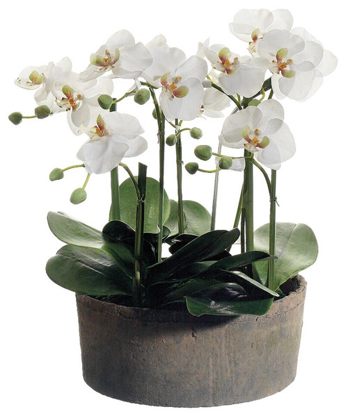 "19"" Phalaenopsis Orchid Plants in Clay Pot Cream Green"