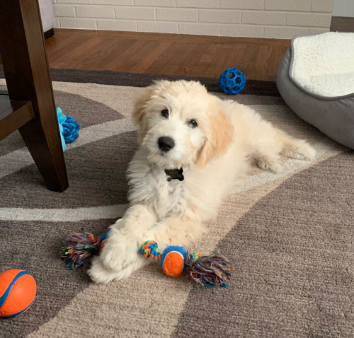 So happy to find woodlot companions for our mini goldendoodle!