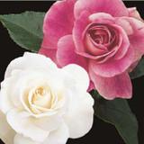 Iceberg & Brilliant Iceberg Tree Rose