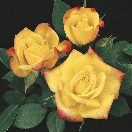 American Rose Society Award of Excellence. Deep yellow blushing to orange-red. Bushy and compact. Easy to grow. Own-root.
