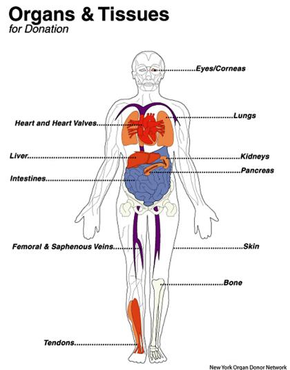organ-tissue-1.jpg