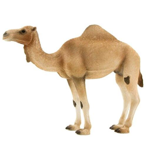 Mojo Arabian Camel