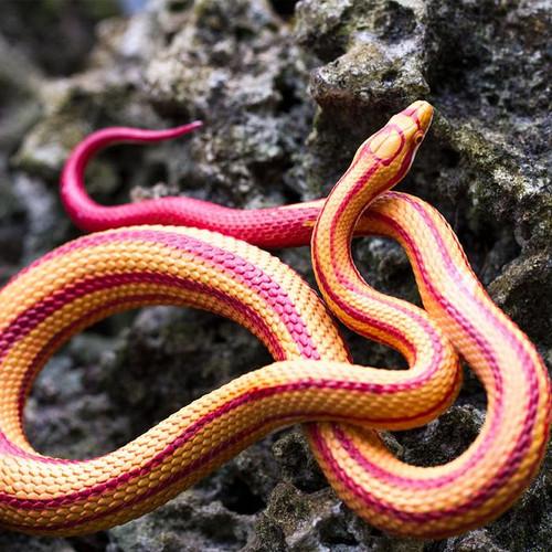 Safari Ltd Corn Snake IC
