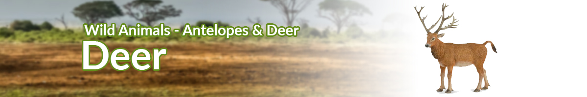 Wild Animals Deer banner - Click here to go back to Wild Animals