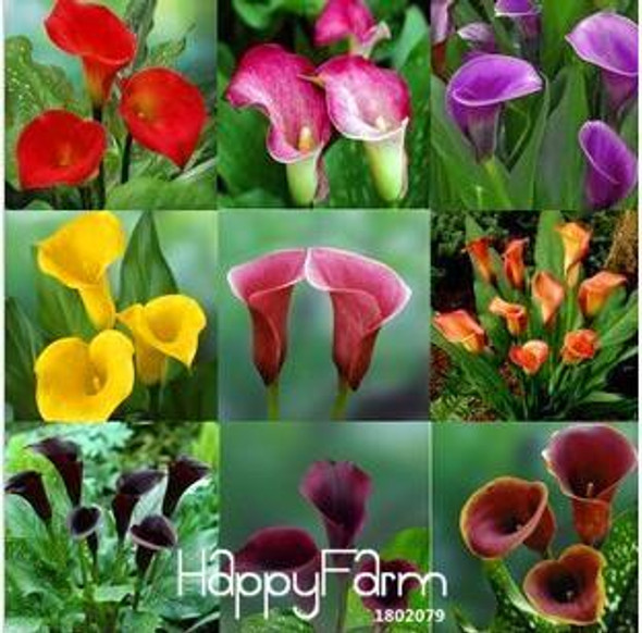Sale!Calla lily seed imported from Holland, calla lily seedlings - 50 PCS/Pack,#CYW15M