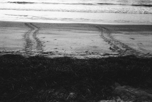 Sea turtle tracks are testament to the determination of carrying on their species.