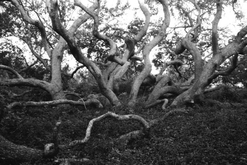 It is understandable that the trunks of an oak tree grove seek out what is necessary for survival; however, why does the bark on these trunks twist?