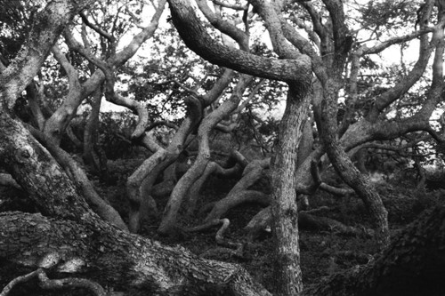 Like a hear of cats, a cluster of oak trees seek out what is needed for survival.
