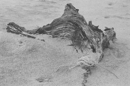 Sand swallowing driftwood.