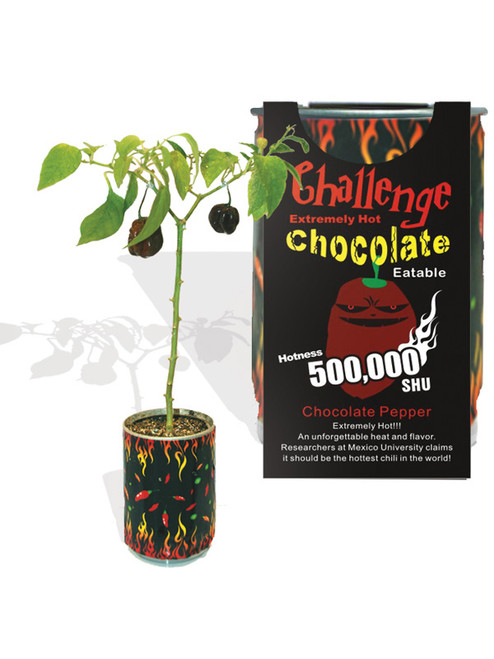 Challenge Chocolate Habanero Pepper Chili Plant - 500,000 SHU
