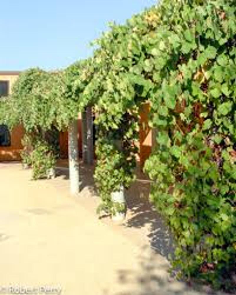California Wild Grape ~ Bundle of 3 Bare-root - small