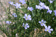 Wild Blue Flax patch.  https://www.photos-public-domain.com/2011/08/07/wild-blue-flax-linum-lewisii-flowers/  Creative Commons CC0