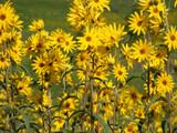 Maximillian Sunflower patch.  Credit: Laura Hubers.