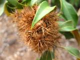 Themodoccypress at English Wikipedia / CC BY-SA (https://creativecommons.org/licenses/by-sa/3.0), Chrysolepis chrysophylla.  https://commons.wikimedia.org/wiki/File:Chrysolepis_chrysophylla_Burr.JPG