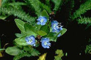 American Speedwell with flowers
