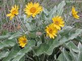 Arrowleaf Balsamroot plant with flowers
