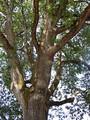 Oregon White Oak tree.  By Jami Dwyer (Jamidwyer (talk)) - Own work, Public Domain, https://commons.wikimedia.org/w/index.php?curid=6322274