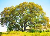 Oregon White Oak Main Product Image