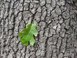 California Black Oak trunk
