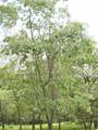California Black Oak trees