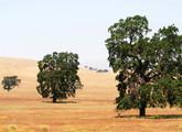 California Black Oak Main Product Image