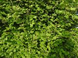 California Hazelnut patch