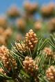 Pinyon Pine nuts