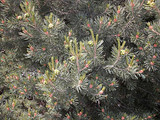 Pinyon Pine branches.  By Andrey Zharkikh, https://www.flickr.com/photos/zharkikh/, https://creativecommons.org/licenses/by-sa/2.0/