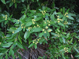 California Bay Laurel bush