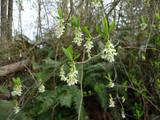 Indian Plum bush