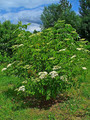 Black Elderberry Bush.  By H. Zell - Own work, CC BY-SA 3.0, https_commons.wikimedia.org_w_index.php_curid=11059001.jpeg