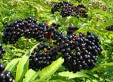 Black Elderberry Main Product Image