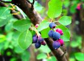 Saskatoon Serviceberry Main Product Image