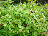 Black Huckleberry bush.  By Laurel F - Huckleberries!, https://www.flickr.com/photos/laurelfan/, https://creativecommons.org/licenses/by-sa/2.0/