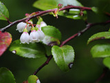 Evergreen Huckleberry closeup.