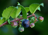 Evergreen Huckleberry Main Product Image