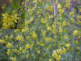 Golden Currant flowers