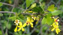 Golden Currant Flowers Foliage