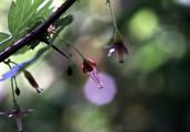 Black Gooseberry branch closeup.  By Gordon Leppig & Andrea J. Pickart - http://www.fws.gov/humboldtbay/plantguide/genus-r.html, Public Domain, https://commons.wikimedia.org/w/index.php?curid=4068472