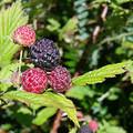 Blackcap Raspberry fruit