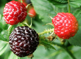 Blackcap Raspberry Main Product Image
