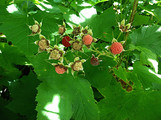 Thimbleberry thumbnail image.  By Adam Peterson - Own work, CC BY-SA 3.0, https://commons.wikimedia.org/w/index.php?curid=33855011